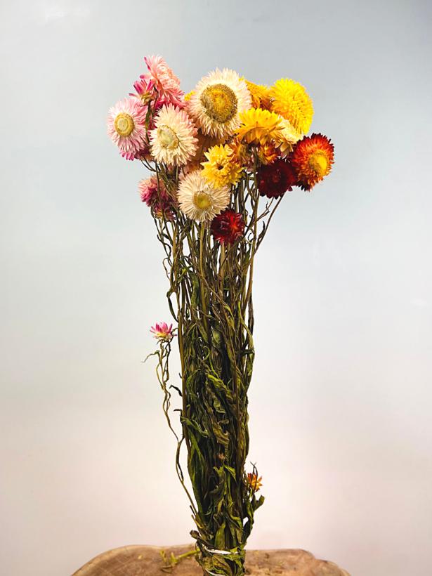 Helichrysum 'mix'