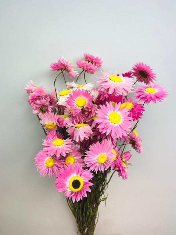 Acroclinium 'roze'