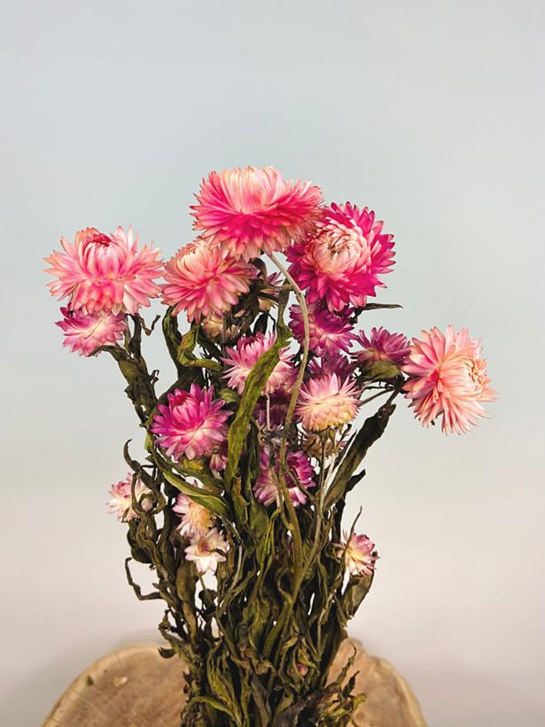 Helichrysum 'roze'