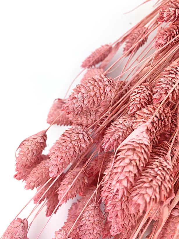 Phalaris 'old pink'