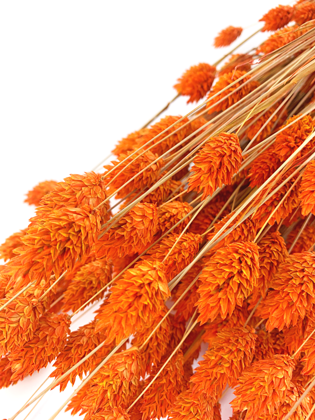 Phalaris oranje