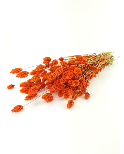 Phalaris 'oranje'