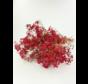 Gipskruid 'rood'