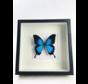 Papilio Ulysses in lijst