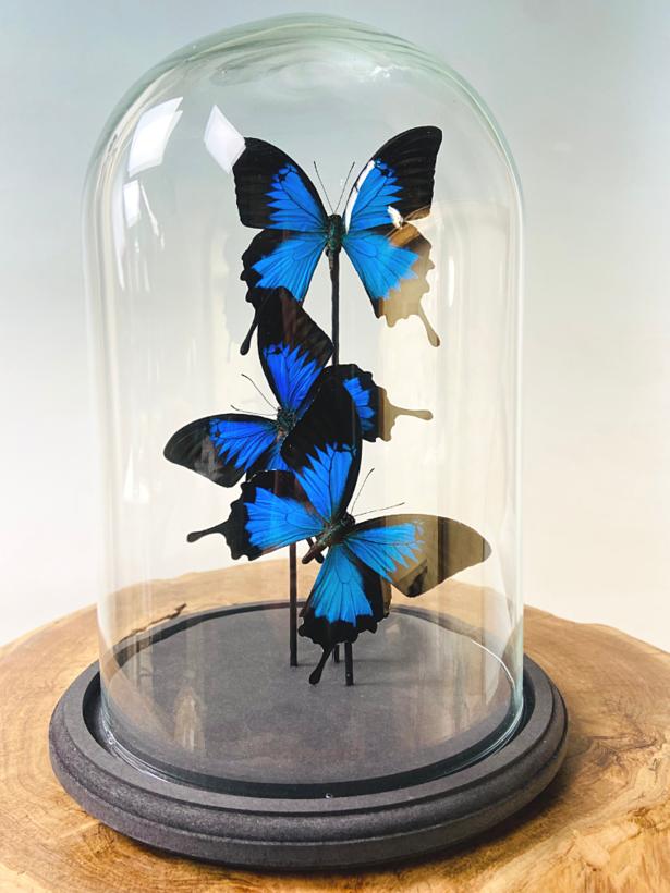 Papilio Ulysses in stolp - 3 stuks
