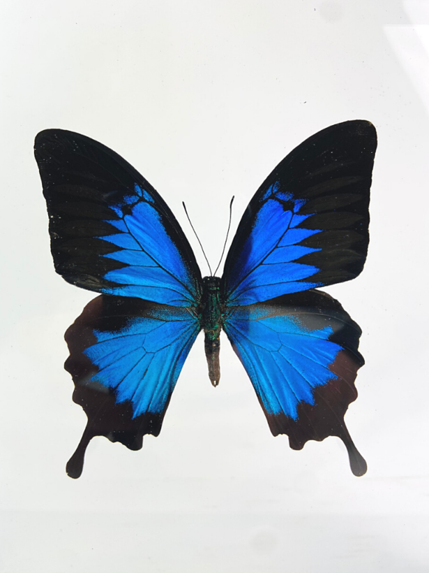 Papilio Ulysses in dubbelglas lijst