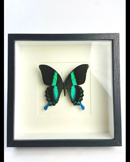 Papilio Blumei in lijst