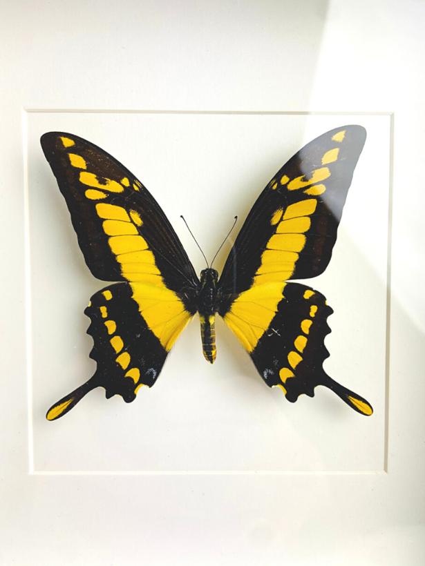 Papilio Thoas in lijst
