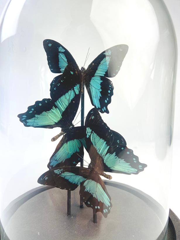 Papilio Bromius in stolp - 3 stuks