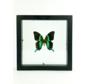 Papillio Blumei in dubbelglas lijst