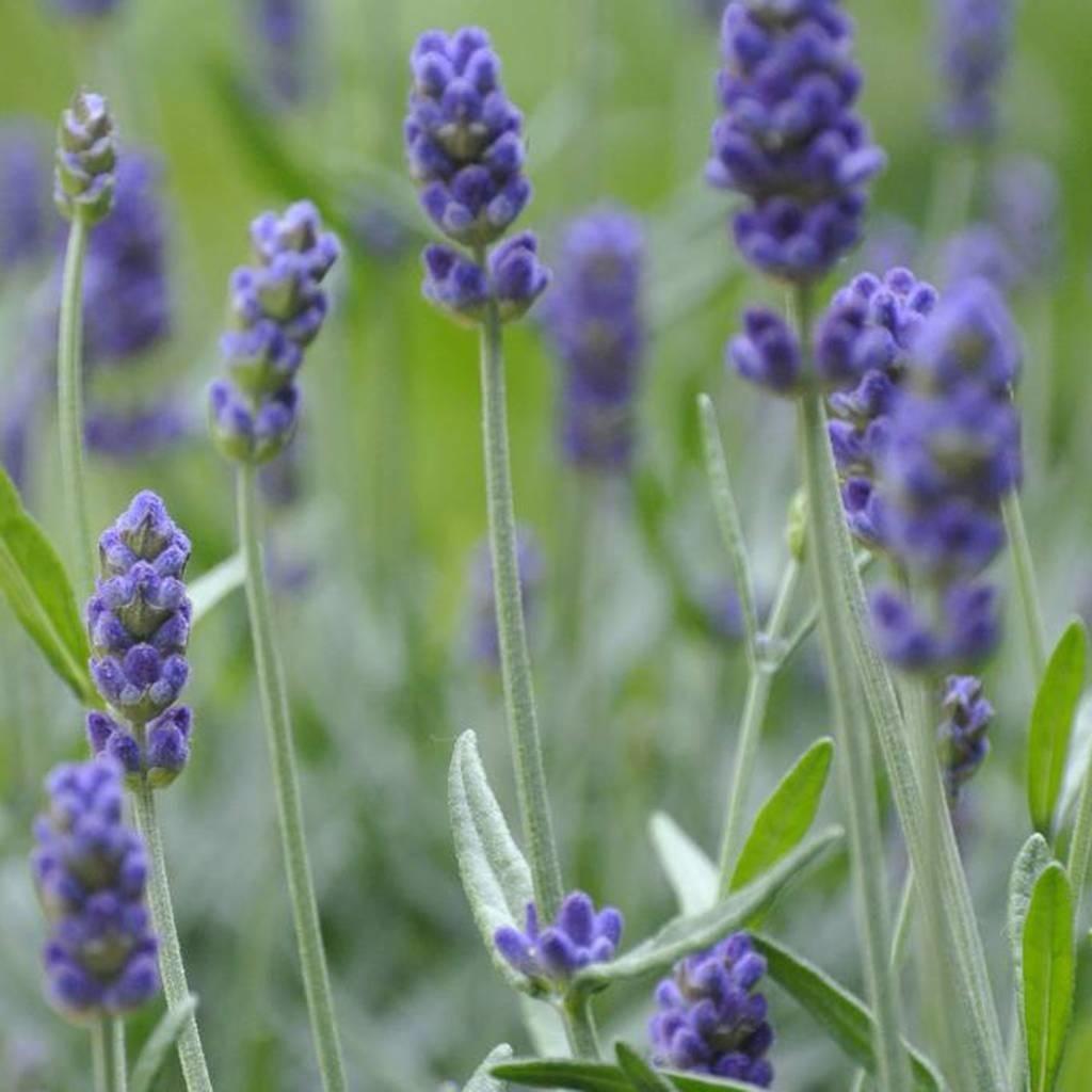 Werfzeep Werfzeep Lavendel