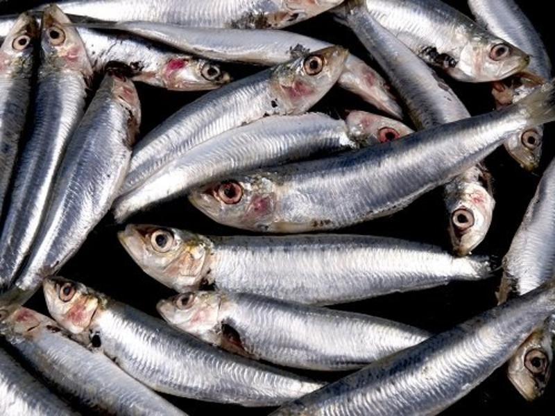 Pastasaus Sardines: Sugo alla Sarde