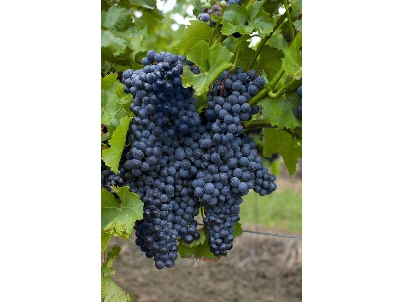 Gelatine di Vino: Wijnsaus Syrah uit Sicilië