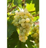 Inzolia Wijnsaus, gemaakt van Siciliaanse Inzolia druif