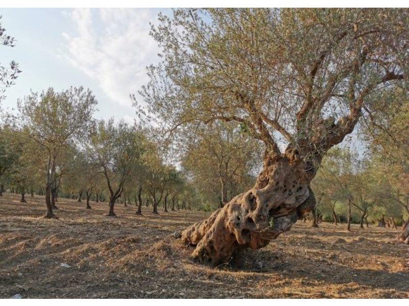 Il Circolo Biologische  Italiaanse olijfolie D.O.P.  in blik