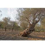 Il Circolo Biologische  Italiaanse olijfolie D.O.P.  peperoncino