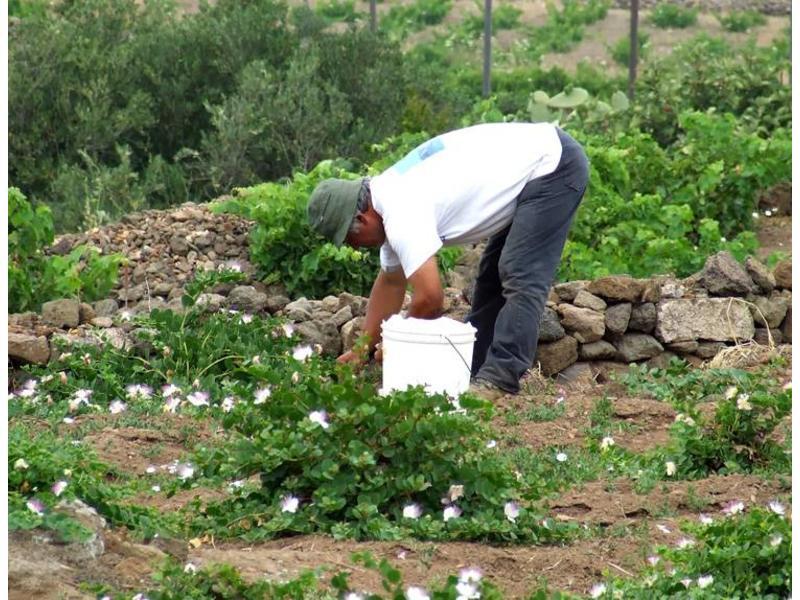 Capperi sottosale: gezouten Siciliaanse kappertjes