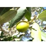 Daidone Groene Olijven uit Sicilië