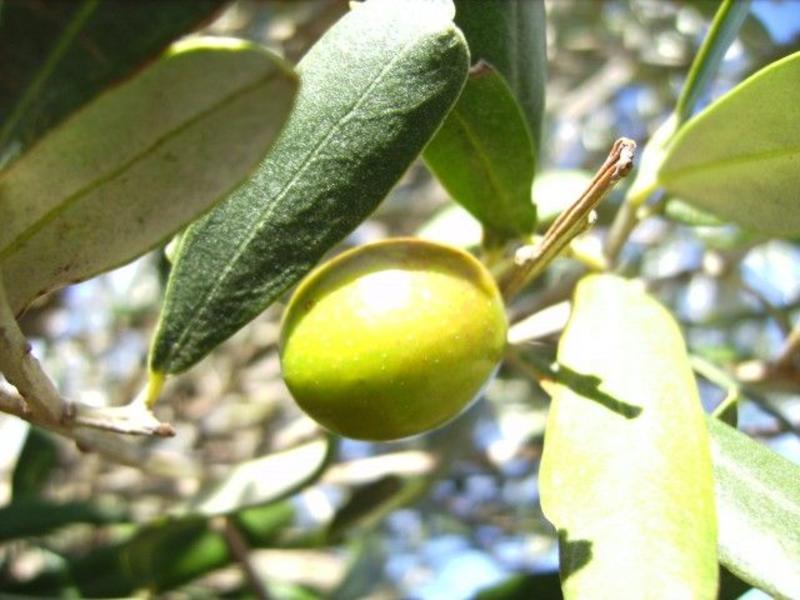 Groene Olijven uit Sicilië
