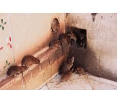 Ratten verjagen