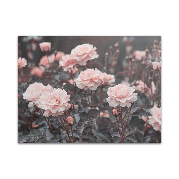 Roze rozen op dibond