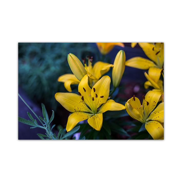 Yellow lily op plexiglas