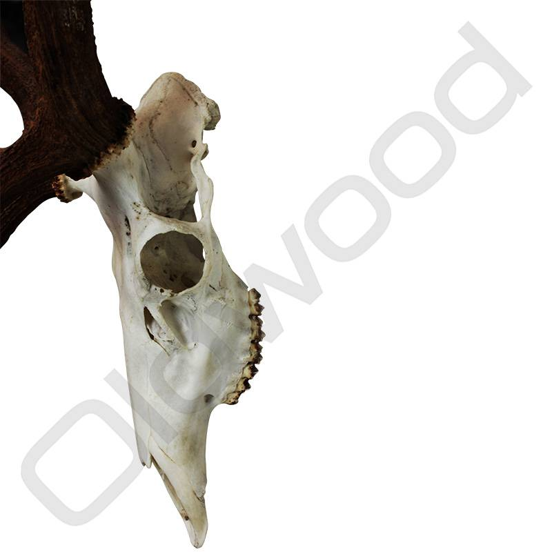 Herten schedel met gewei