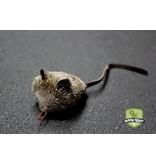 Tabby Tijger Shrew mouse (spitsmuis)