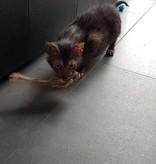Tabby Tijger Rabbit-rat (Konijnratje)