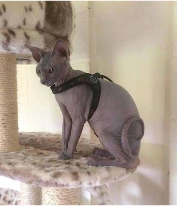 Tre Ponti Liberta Army cat harness