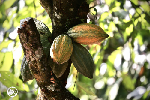 Chocolade druppels puur 54,5 % Callebaut zak 1 kilo