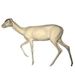 Female Roedeer Walking Left Medium to Large