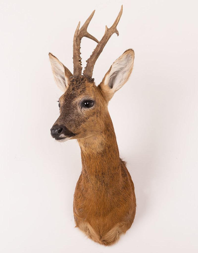 Stuffed Roe Deer Head