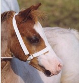 Web showhalter foal
