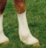 Gold Label Show poeder wit voor lijf en benen