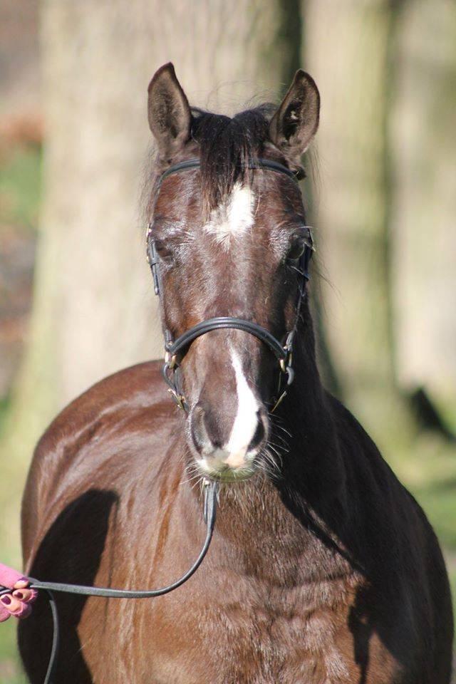 Ponytrends Show hoofdstel gladleder,  volw. maat met gevlochten frontriem
