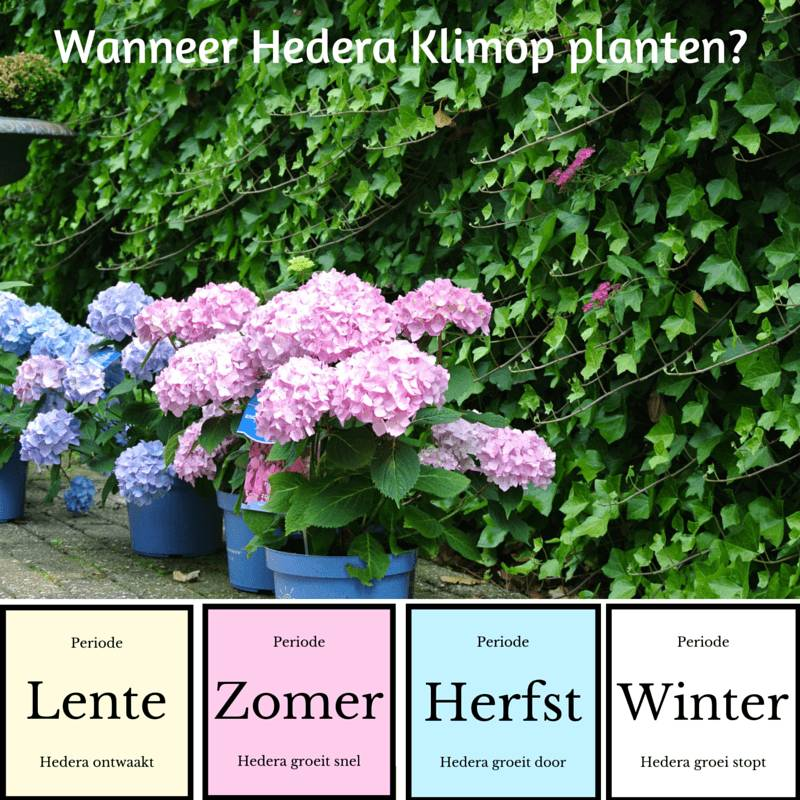 Wanneer hedera planten?