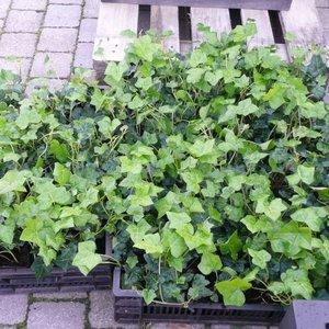 Klimop-Hedera hibernica lage klimplant bodembedekker