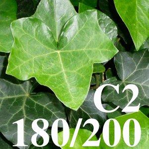 Klimop Hedera hibernica 180/200 C2