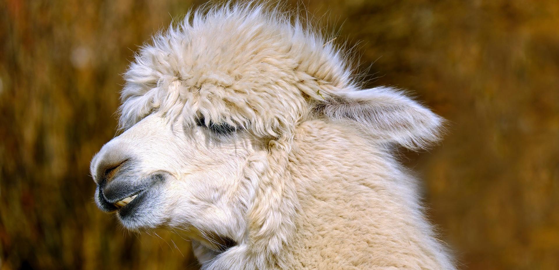 Musthave: plaid van alpaca wol!