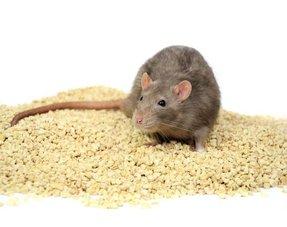 Ratten Bodendecker