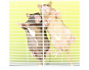 Ratten laufen