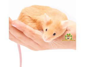 hold tame mouse on hand