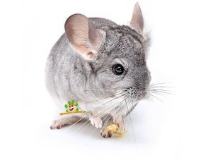 chinchilla supplies and supplies for chinchillas