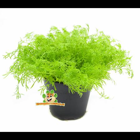 Fresh BIO Chamomile Plant