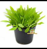 Frische Bio-Bananenpflanze