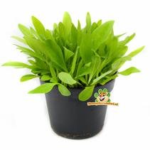 Frische Bio-Wegerichpflanze