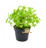 Fresh BIO Melisse Plant