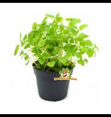 Verse BIO Melisse Plant