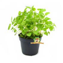 Frische Bio-Melissa-Pflanze